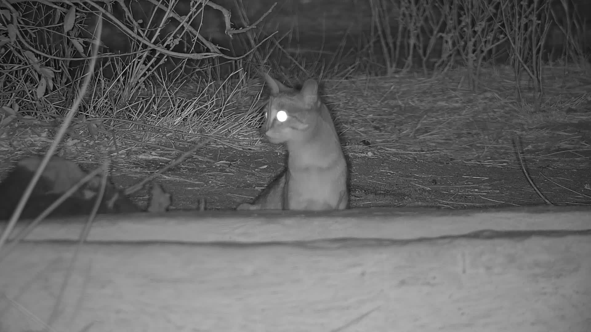 VIDEO: African Wild Cat visit