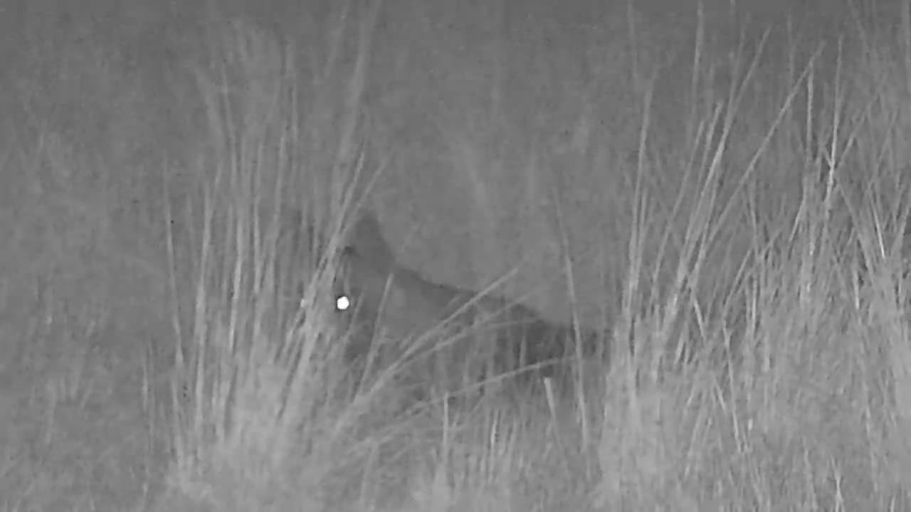 VIDEO: Brown Hyena resting in the field