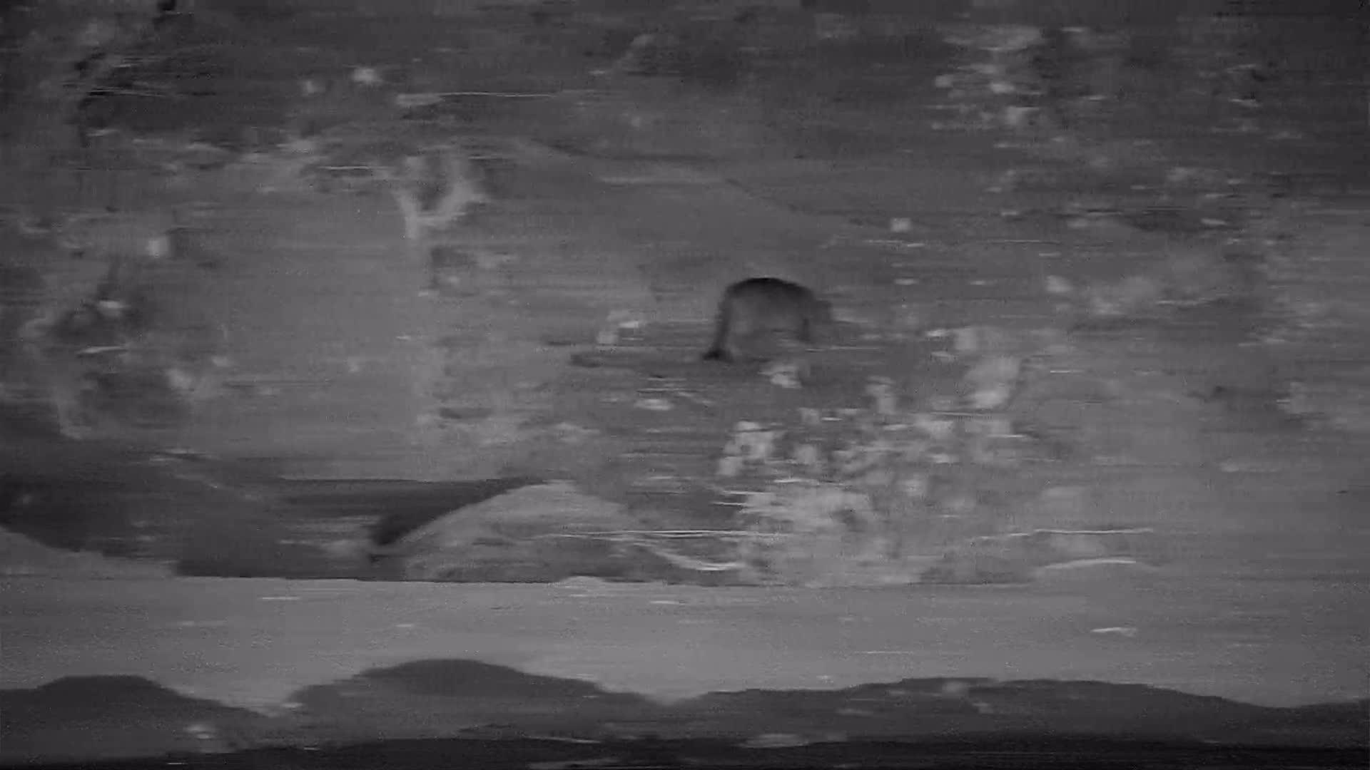 VIDEO: African Wild Cat pays a brief visit
