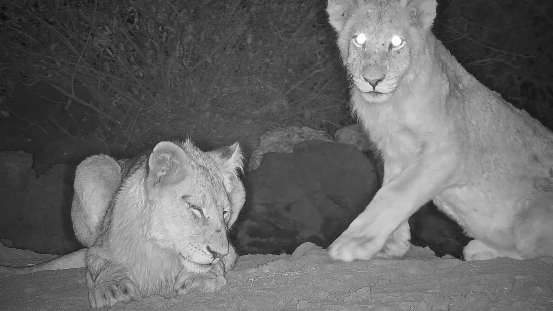 VIDEO: Lions arriving at the waterhole for a drink