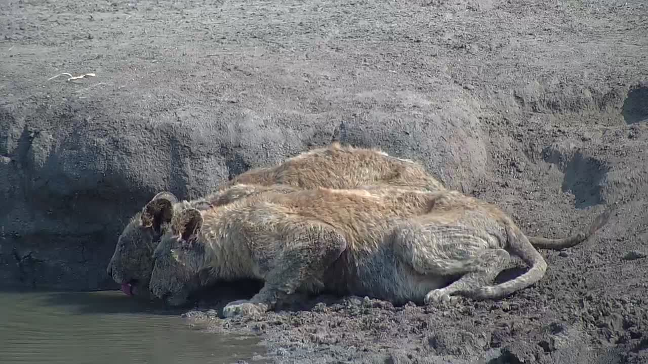 VIDEO: Two sub-adult lions (in poor condition - mange??) come to drink