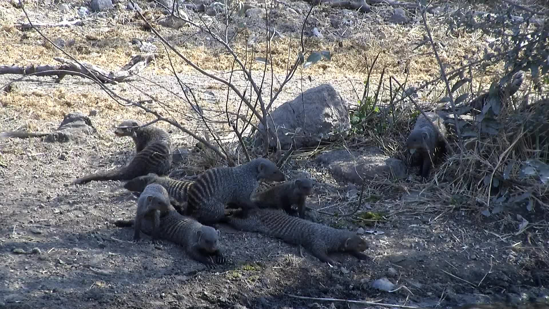 VIDEO:  Banded Mongoose drinking water and having a rest in the shade.