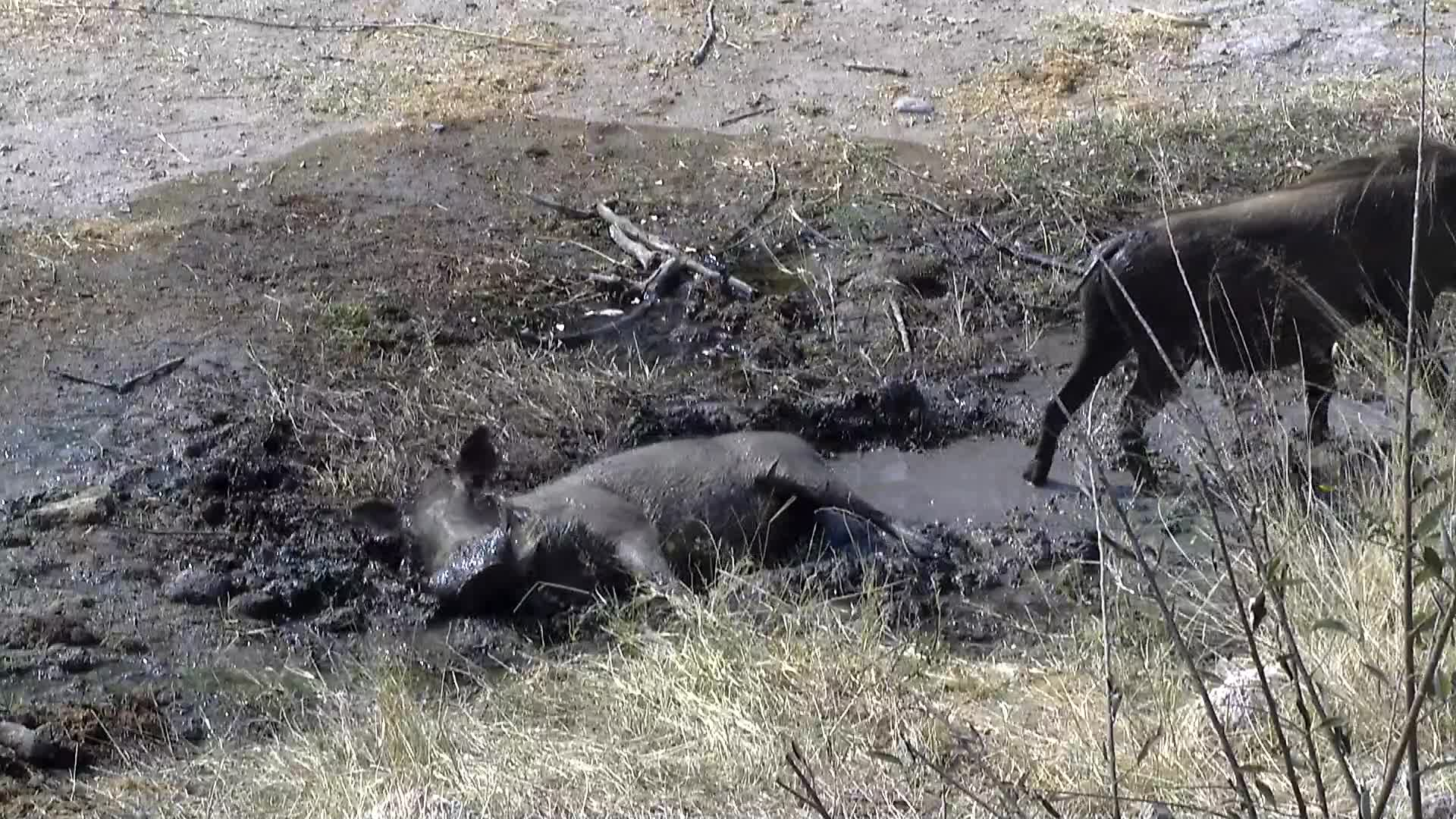 VIDEO:  Warthogs cooling off in the mud and water near the waterhole