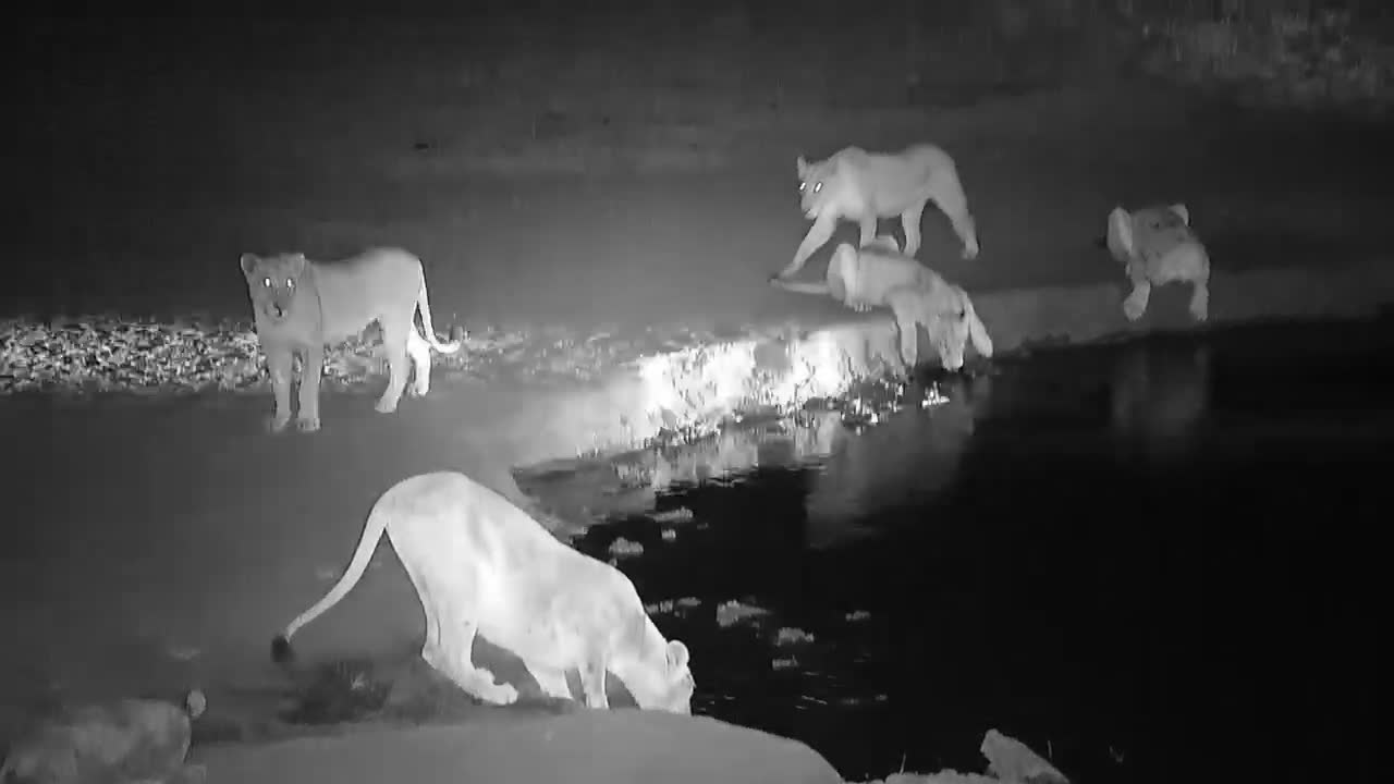 VIDEO:  Lion Pride with cubs coming to drink