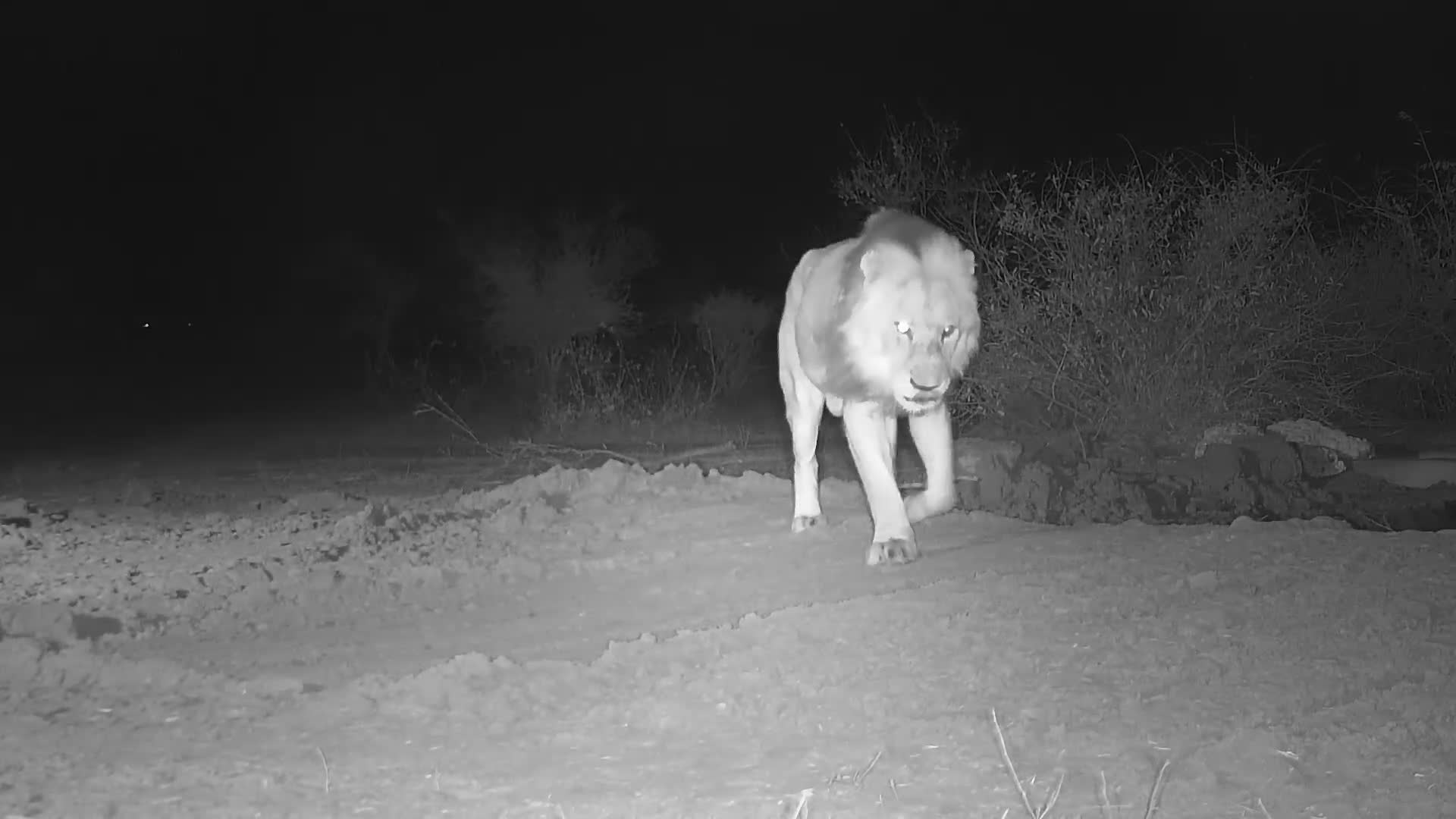VIDEO: Lovely Male Lion