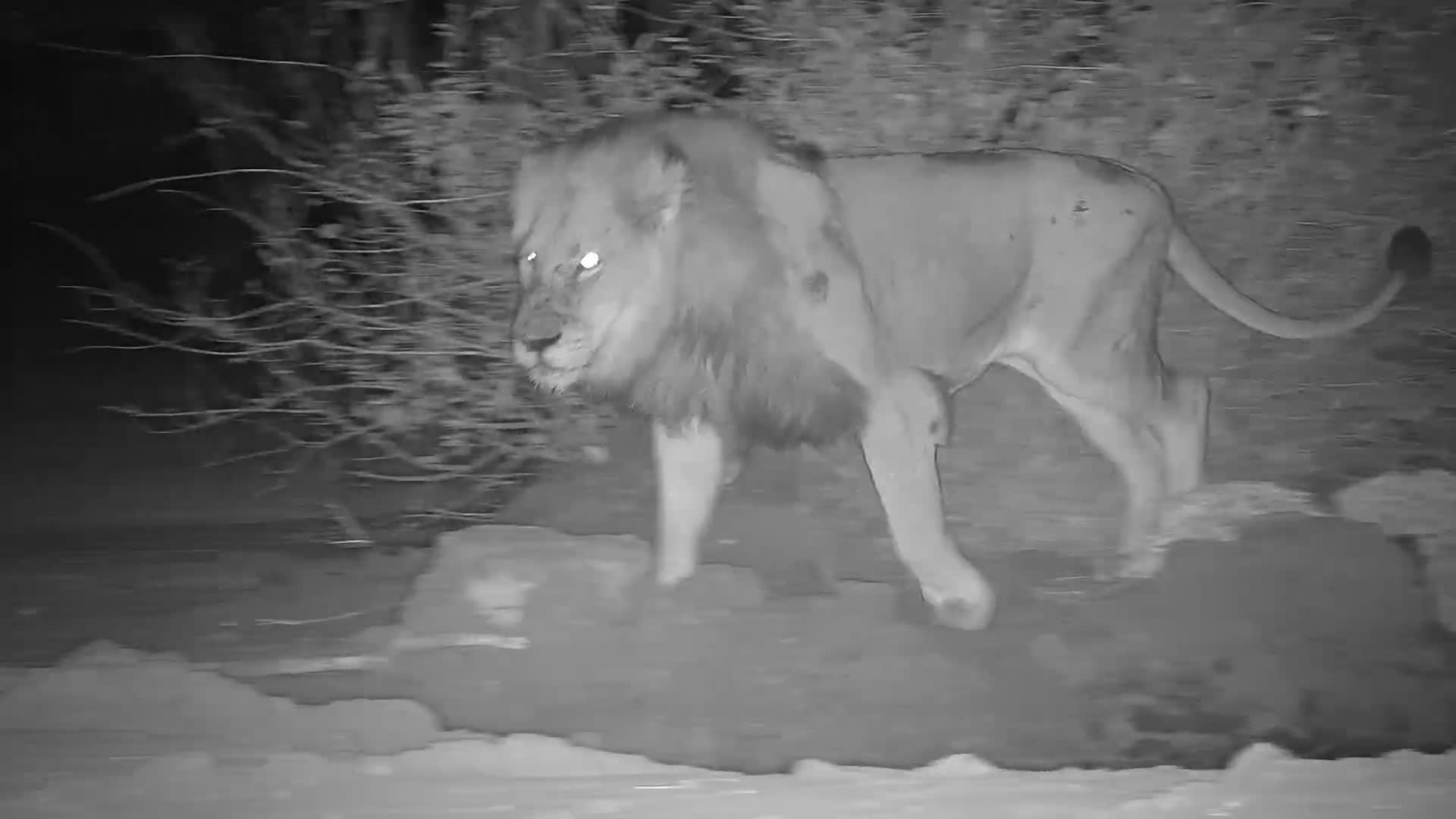 VIDEO: Another beautiful Male Lion at pan