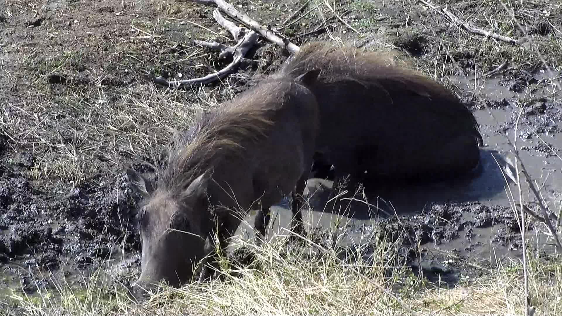 VIDEO: Warthogs wallowing