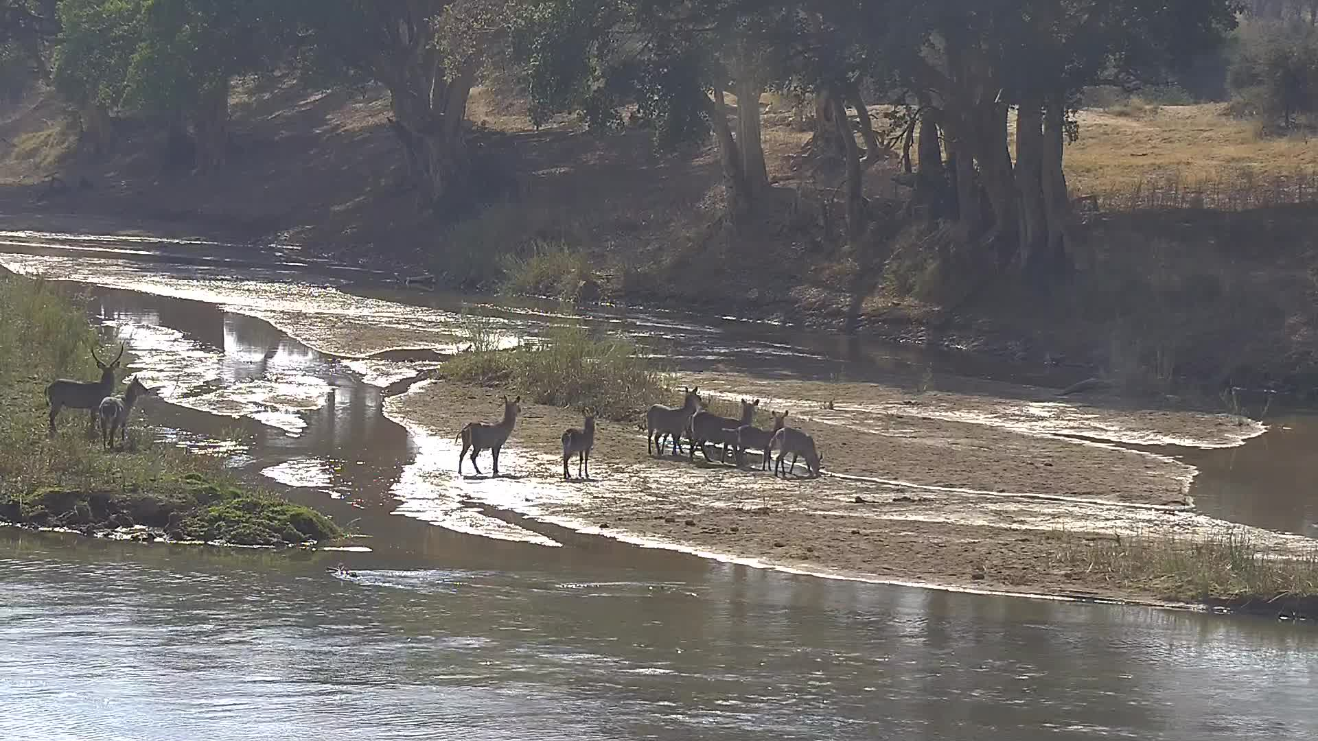 VIDEO:  Waterbuck crossing the river