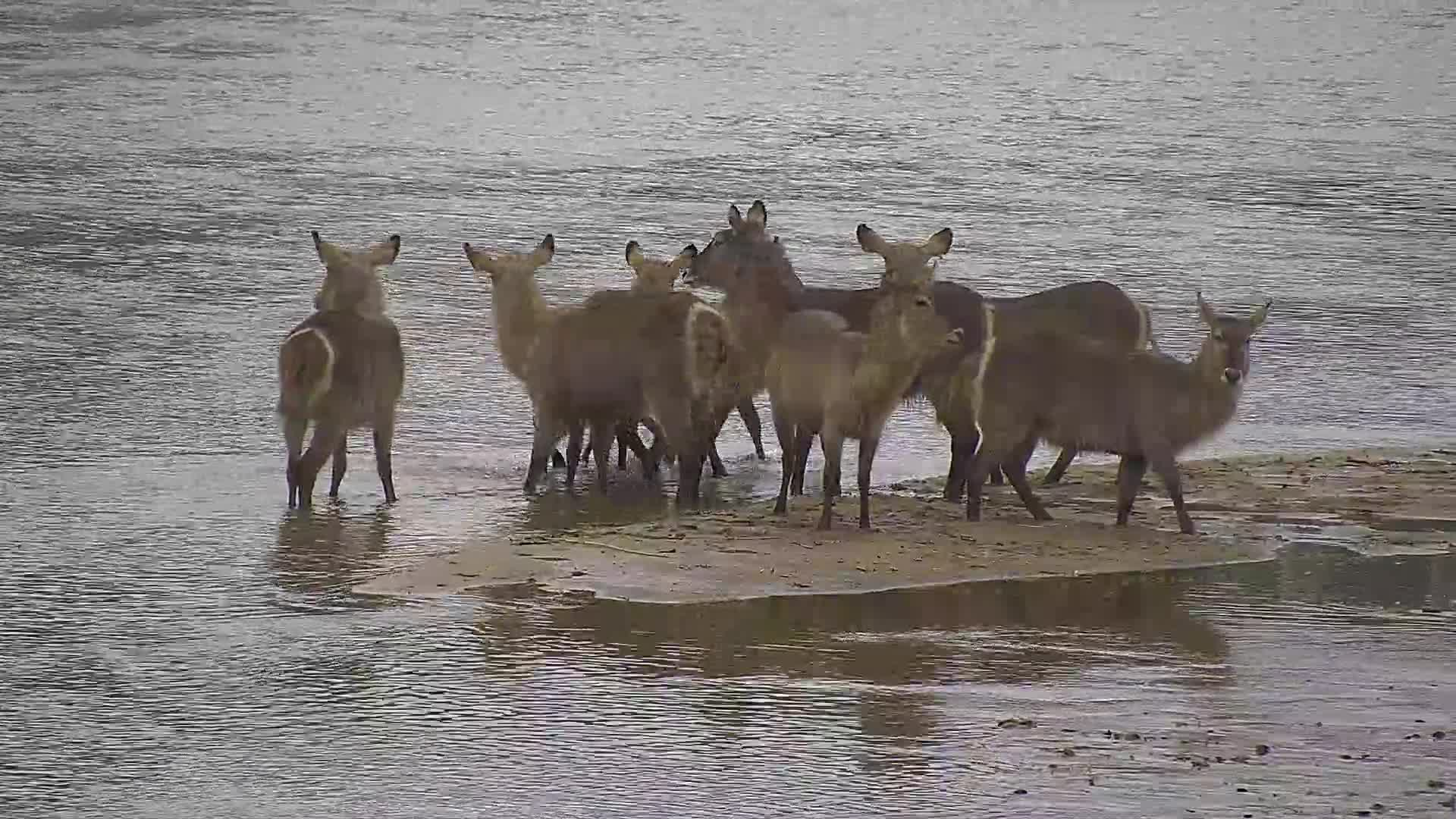 VIDEO: Waterbuck ...do we or dont we ...