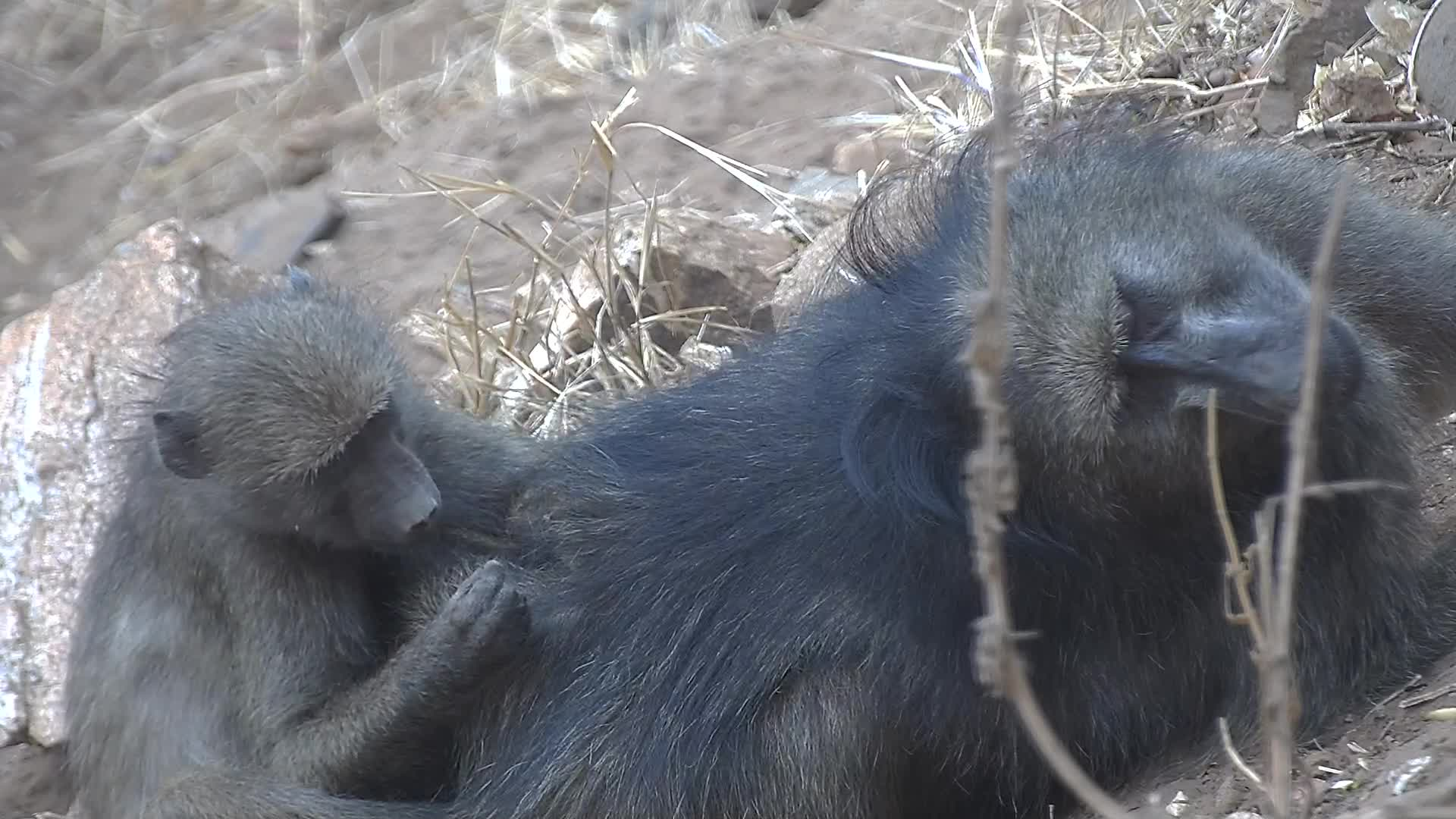 VIDEO: Baboon ...happiness is ...