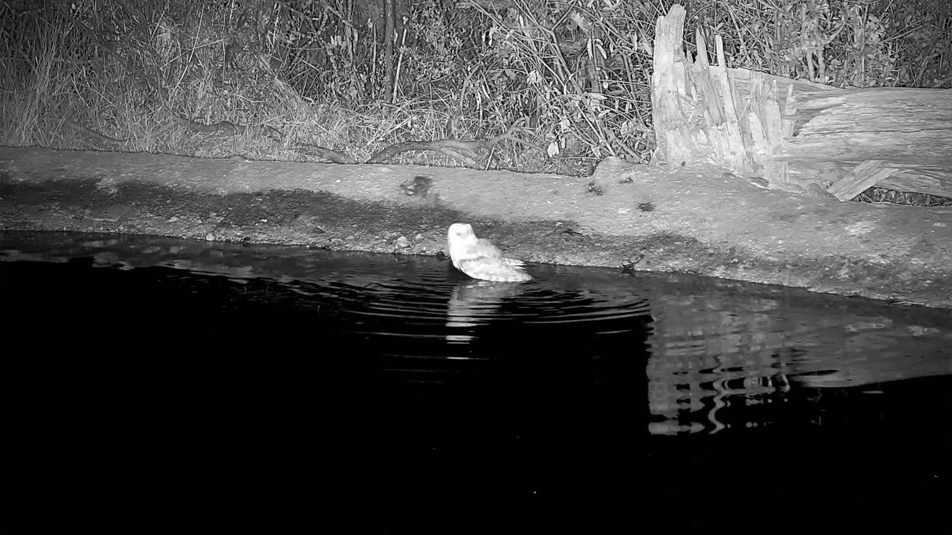 VIDEO: Western Barn Owl bathing
