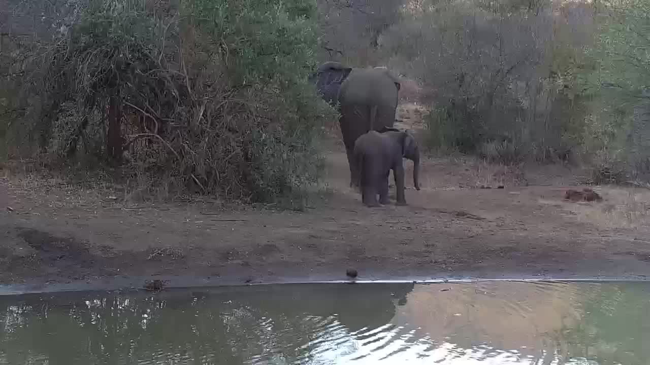 VIDEO: Elephant youngsters unsure of Warthogs