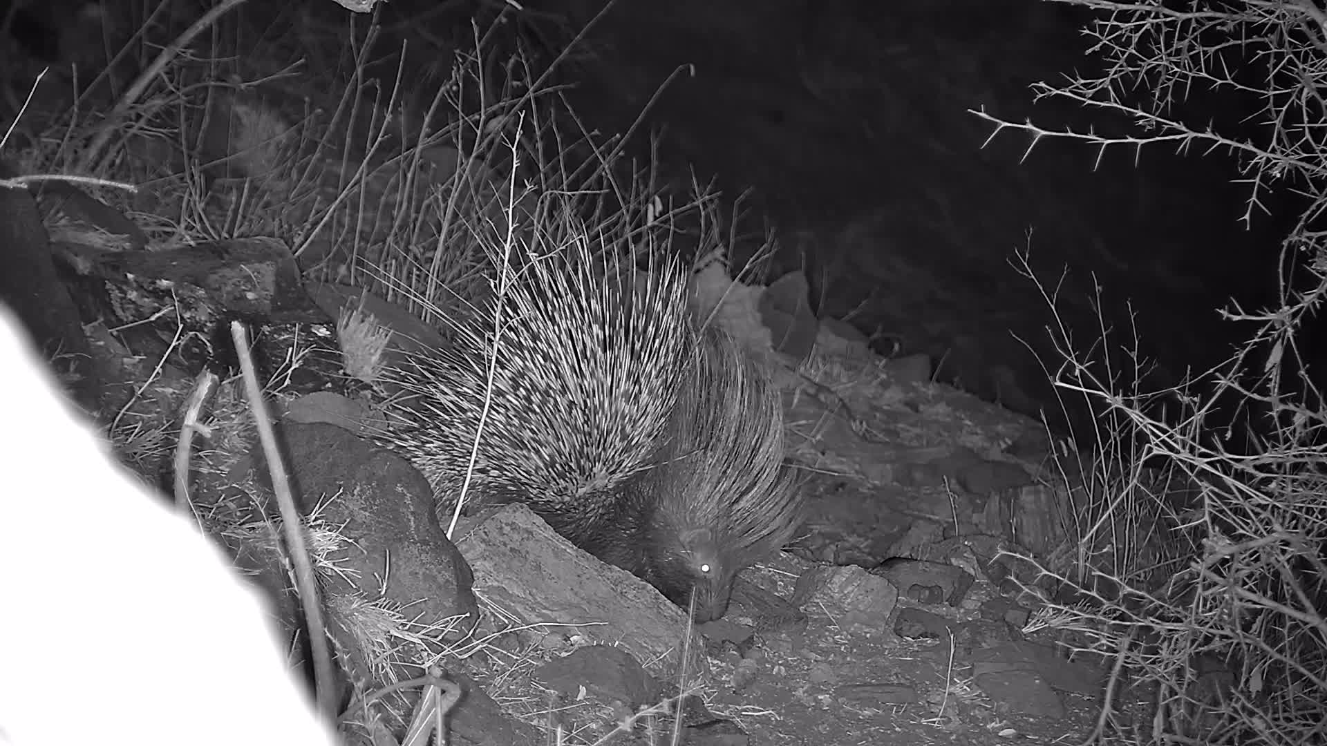VIDEO: Porcupine found something tasty to eat