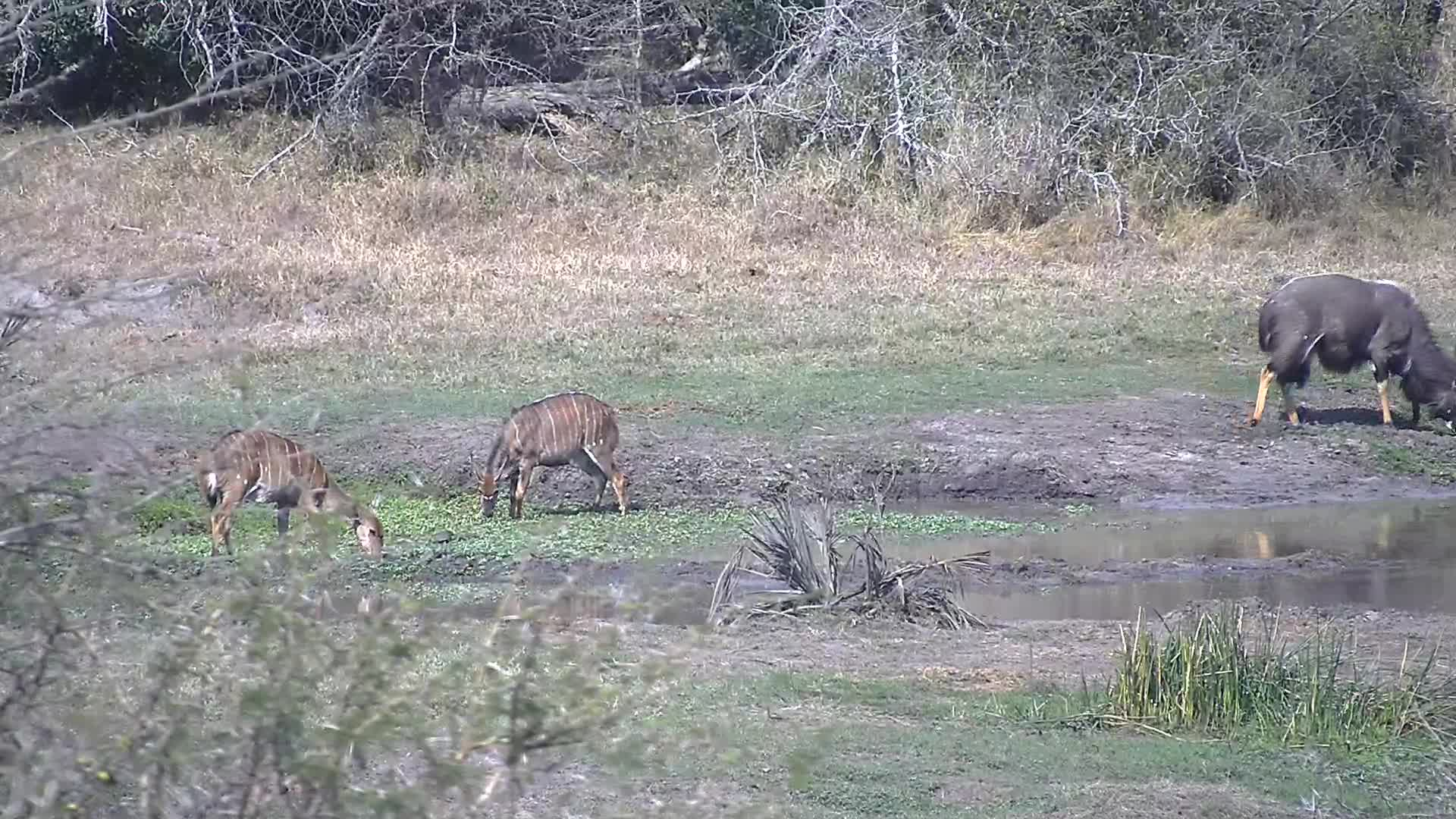 VIDEO:  Male Nyala digging with his head in the mud