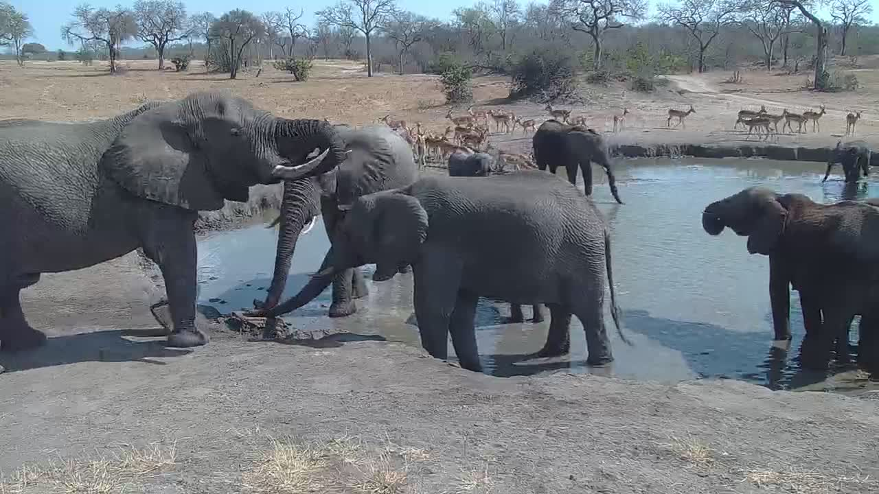VIDEO:  Large herd of Elephant with Zebra and Impala coming for a drink