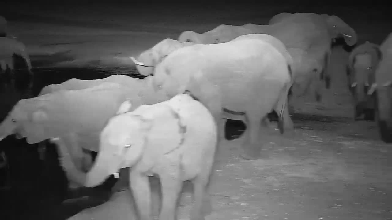 VIDEO:  Lots of Elephants; Big and small