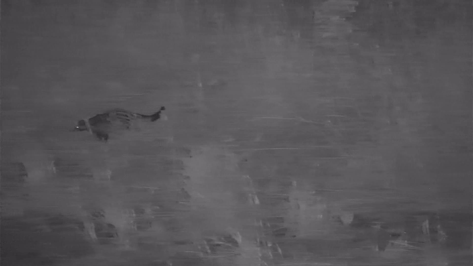 VIDEO:African Civet wandering along the riverbank