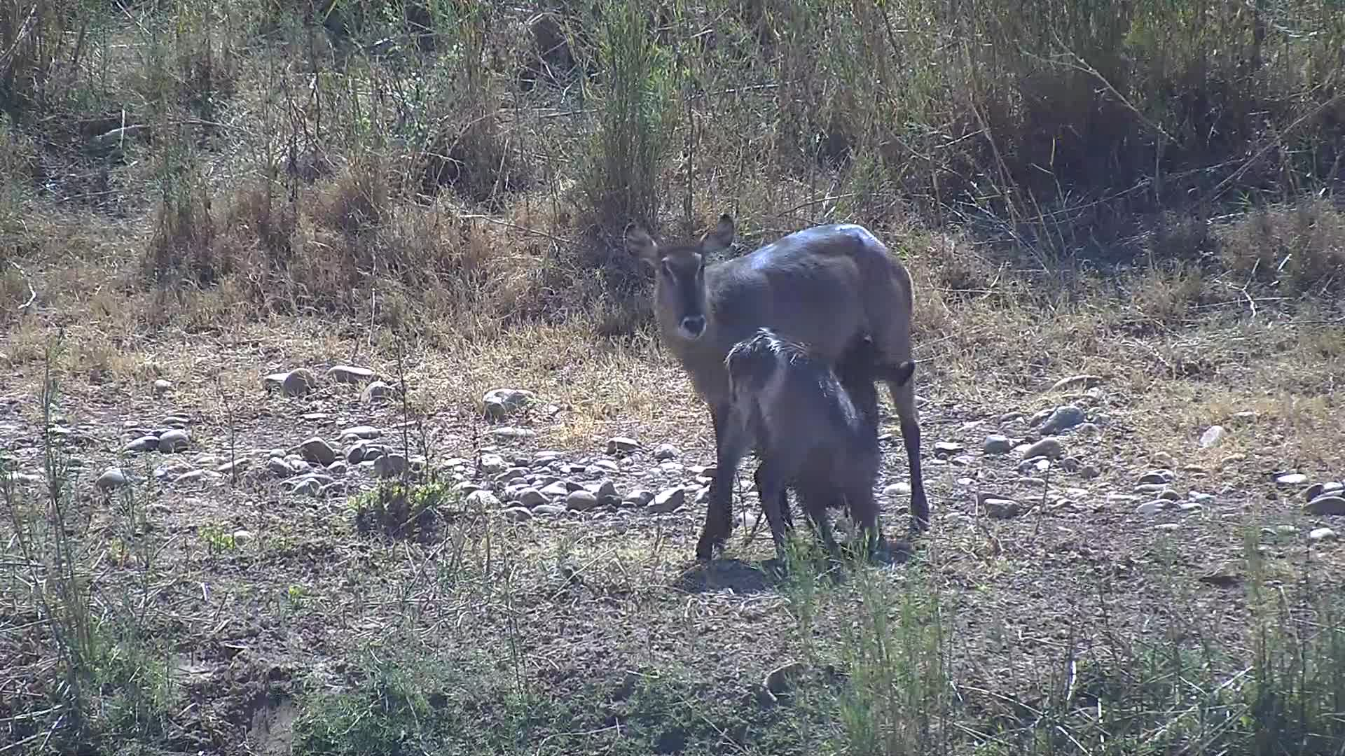 VIDEO: Hungry Waterbuck calf, nursing