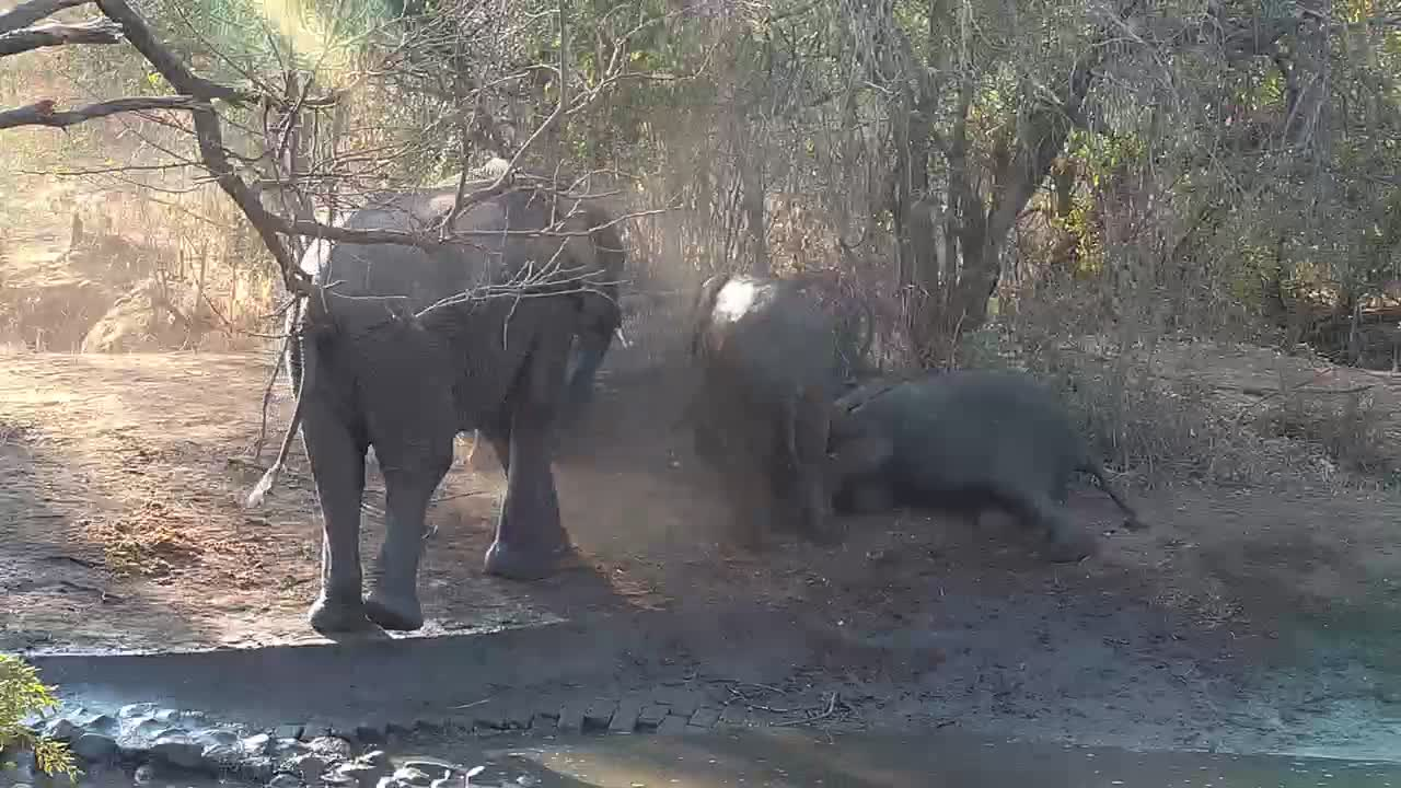 VIDEO: Baby elephants playing at having a dust bath