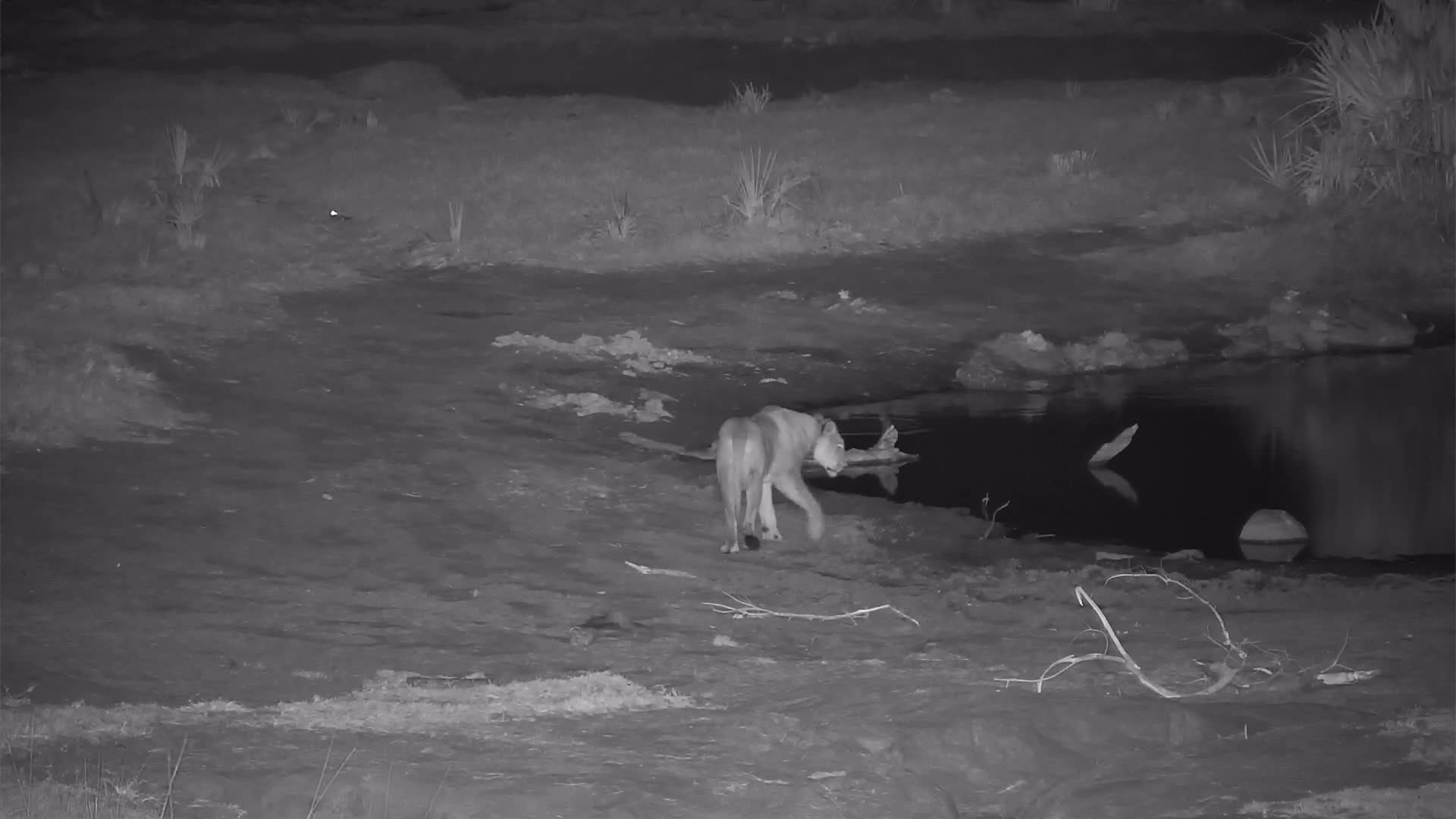 VIDEO: Lioness walks along the shore taking a short drink and goes into the thicket