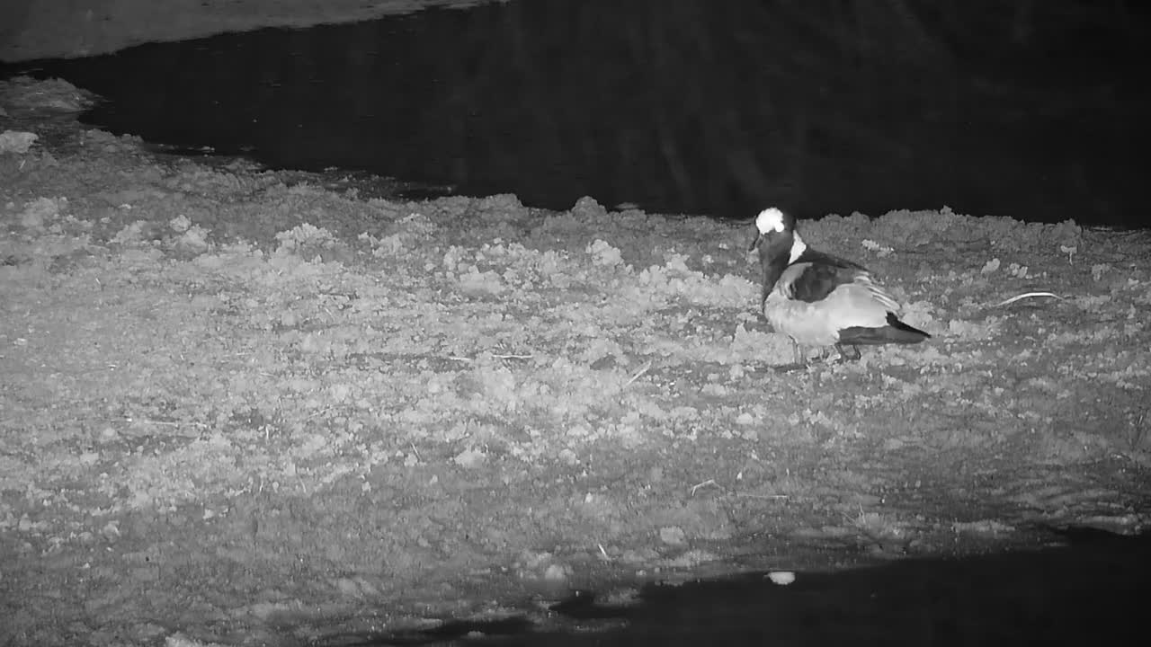 VIDEO: Blacksmith Lapwing parents monitor their chicks