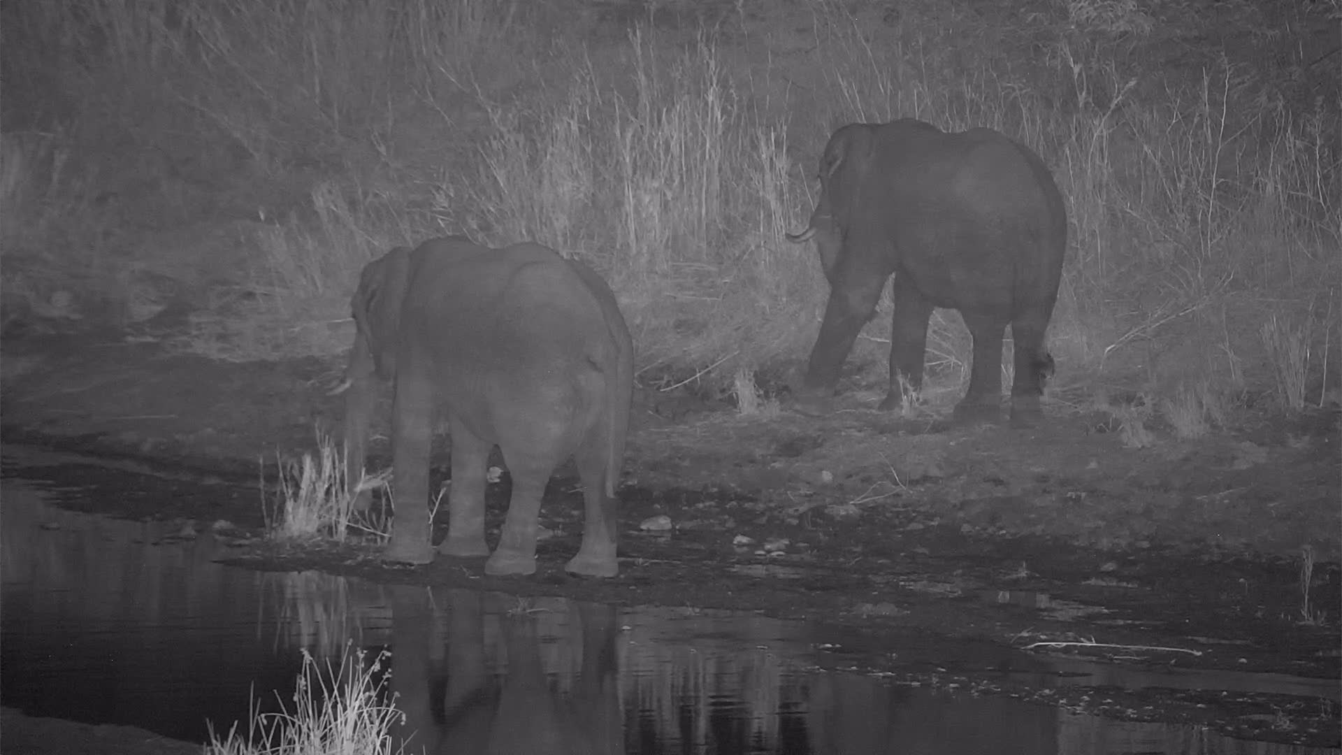VIDEO: Elephants enjoy the reed    - one of them crossed the river to the island