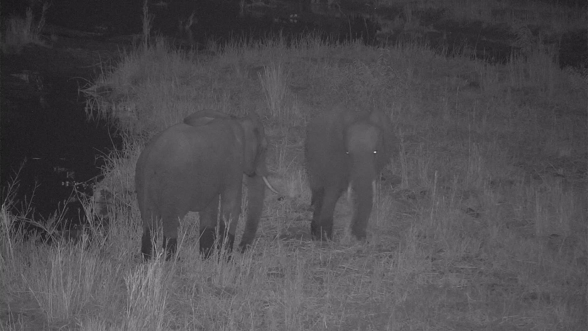 VIDEO: Elephants - a bit aggressive - pushing each other