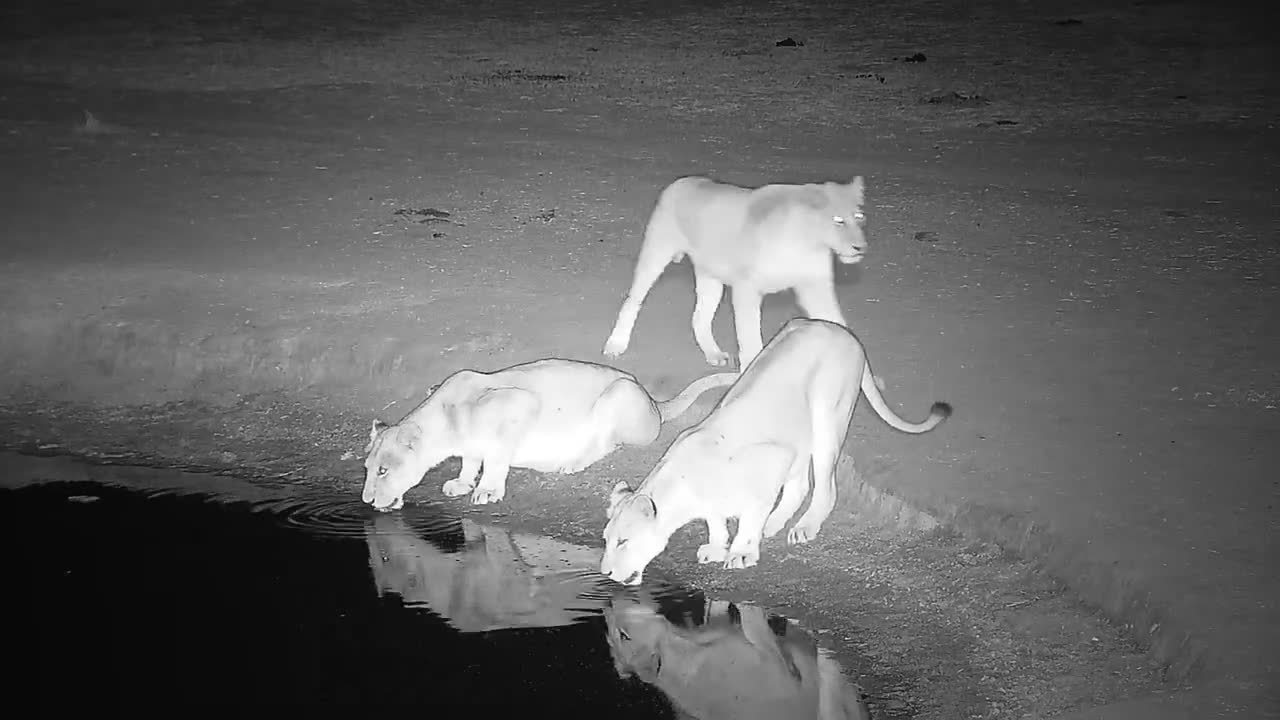 VIDEO:  Lions come for a drink Part 1