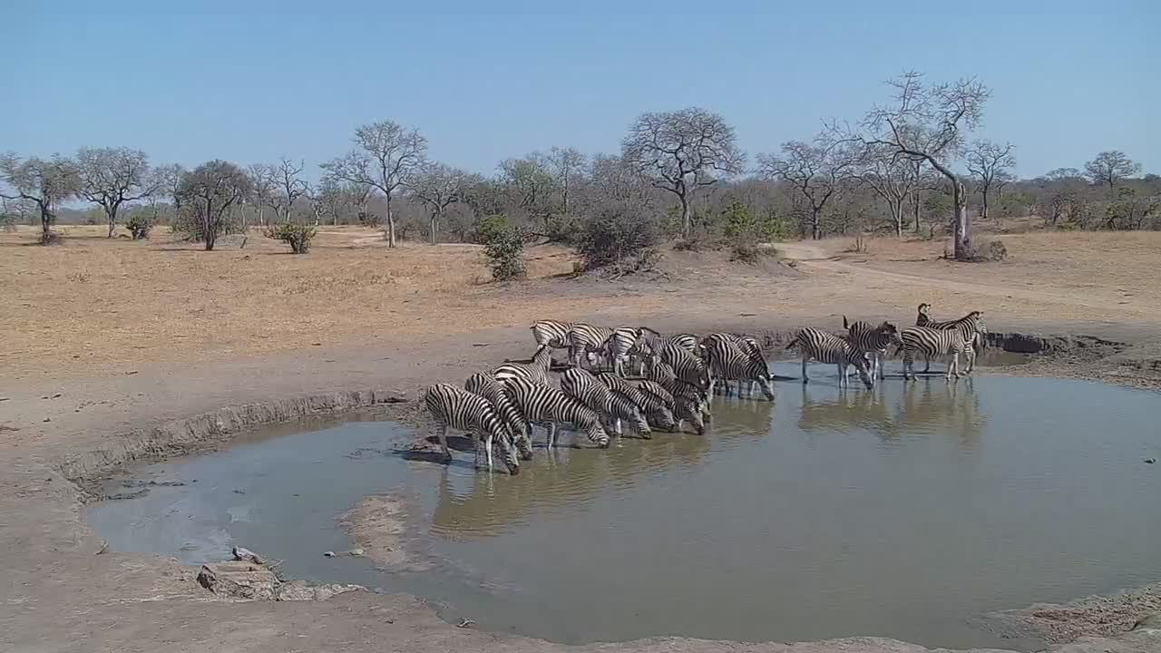 VIDEO:  Lots of Zebra and Impala coming for a drink