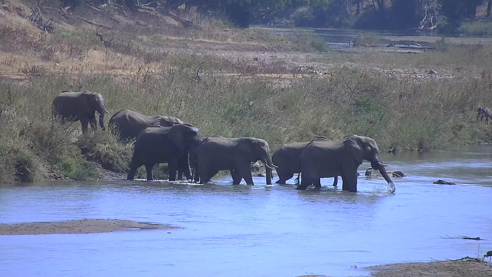 VIDEO: Elephants cross the river and have a communal mud bath