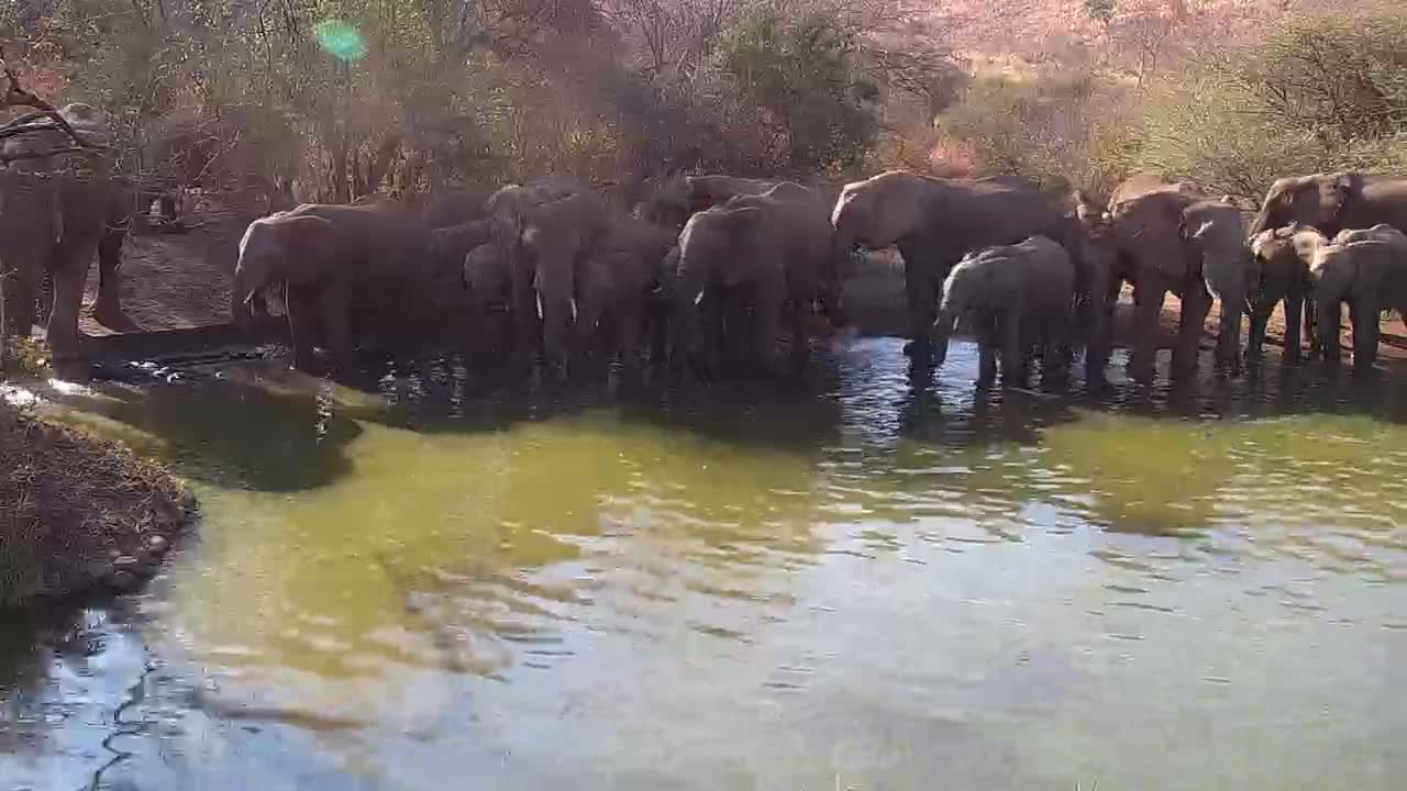 VIDEO: Elephant Breeding Herd drinking at the pond