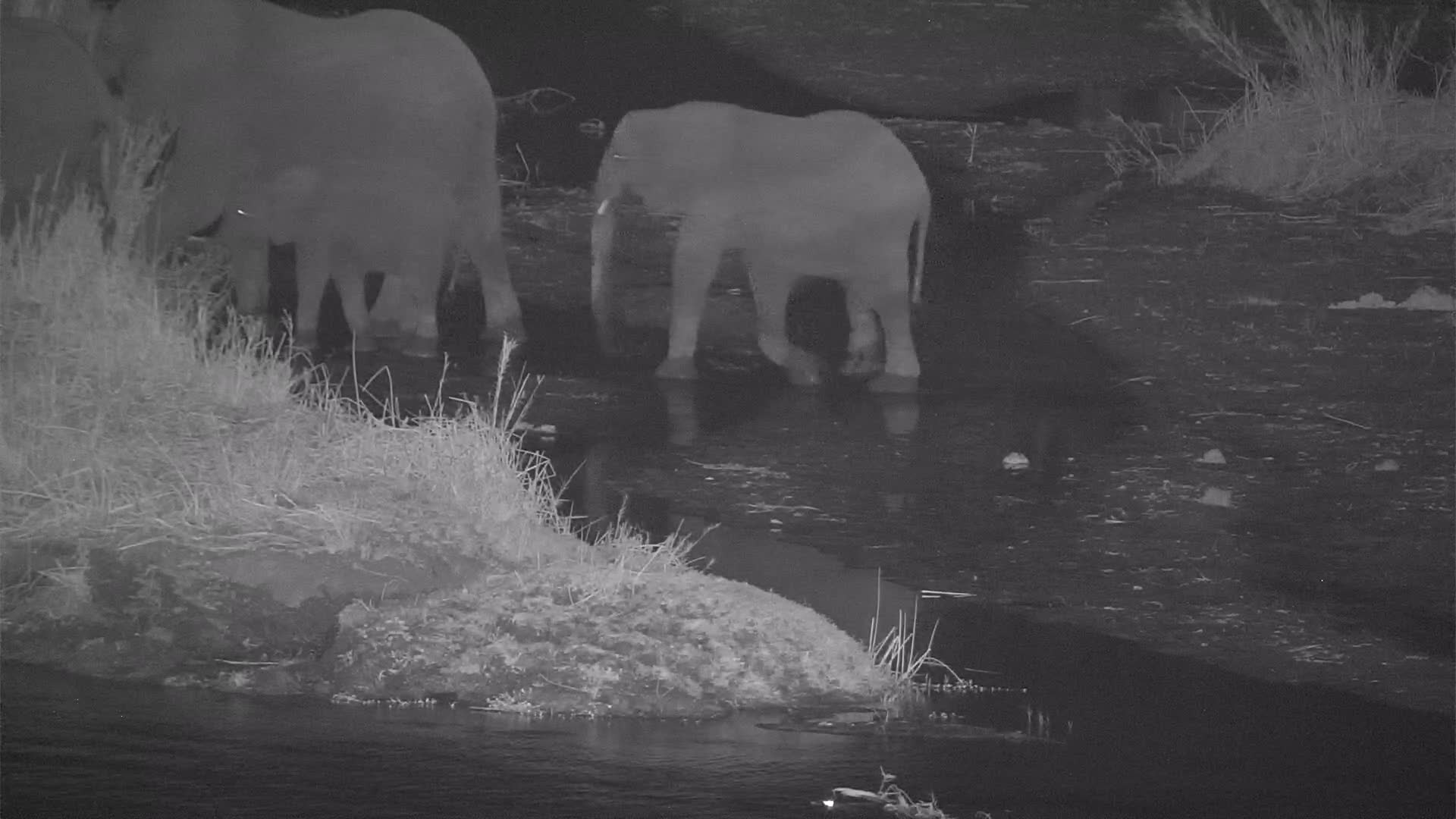VIDEO: Breeding Herd of Elephants crossing the River, but stopped at the Island