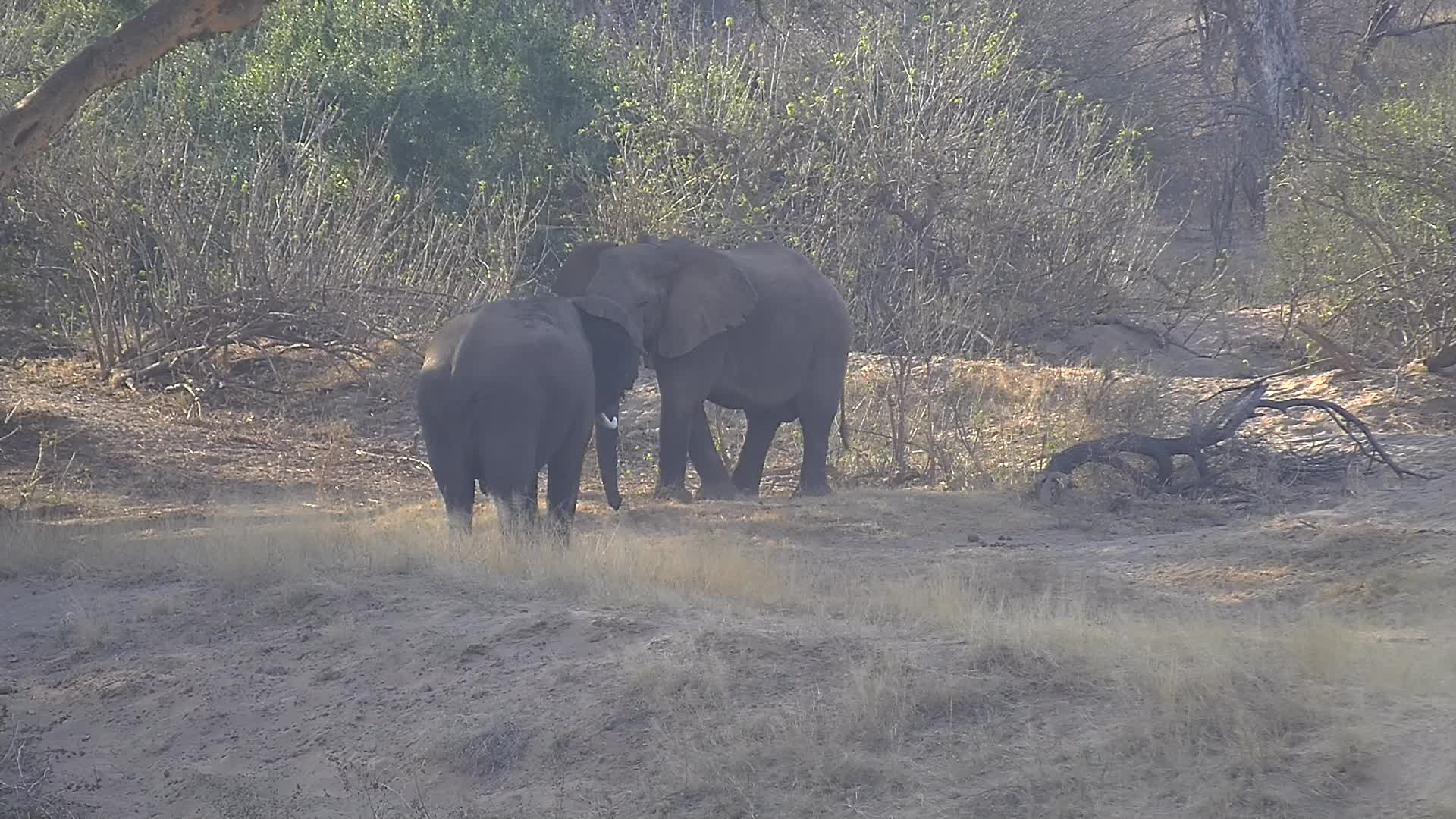 VIDEO: Elephants 'Boys being boys!'