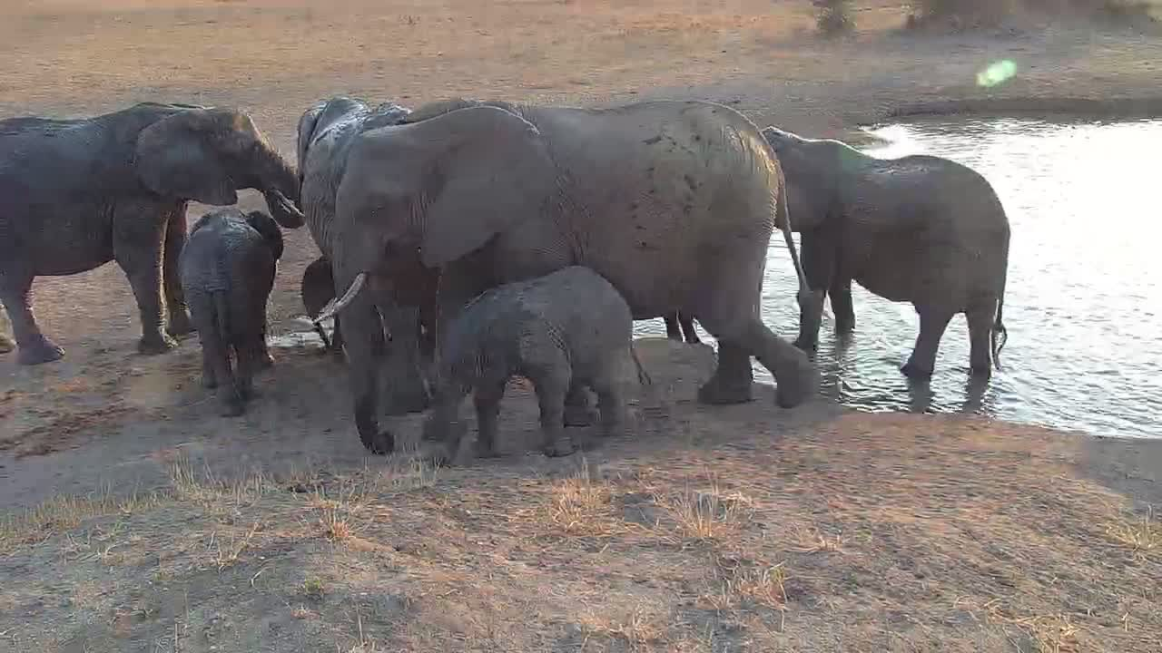VIDEO: Breeding herd of elephants come to drink