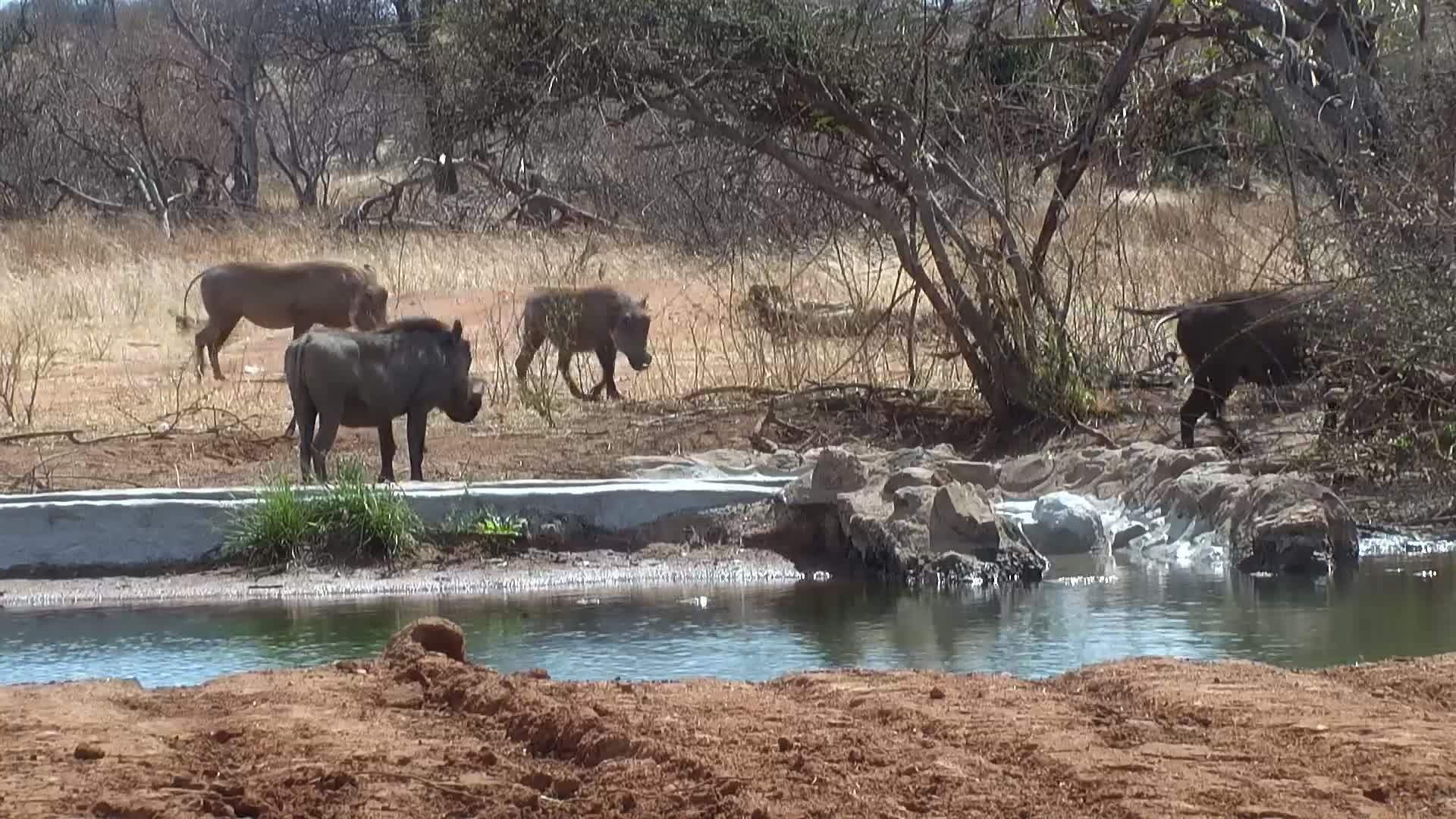 VIDEO:  Warthog family coming for a quick drink and walking off