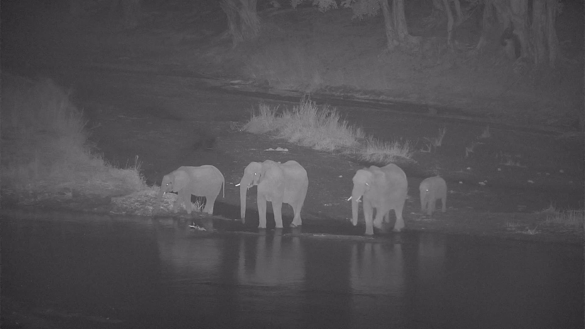 VIDEO:Breeding Herd of Elephants Crosses the River