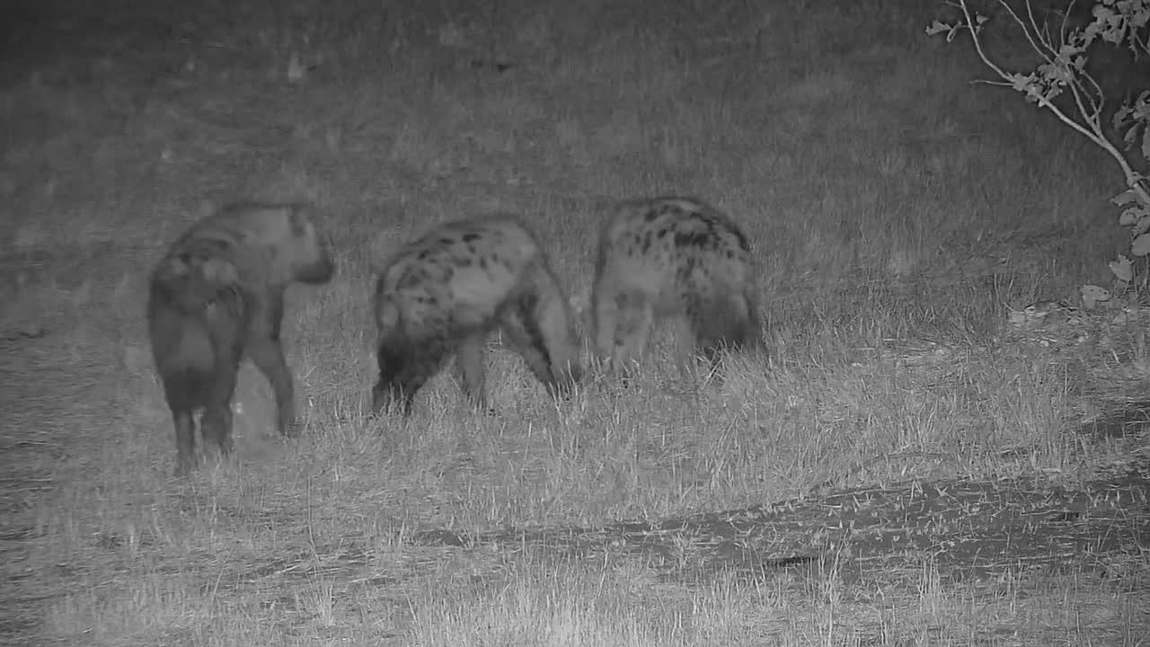 VIDEO: Hyaenas killing the mic