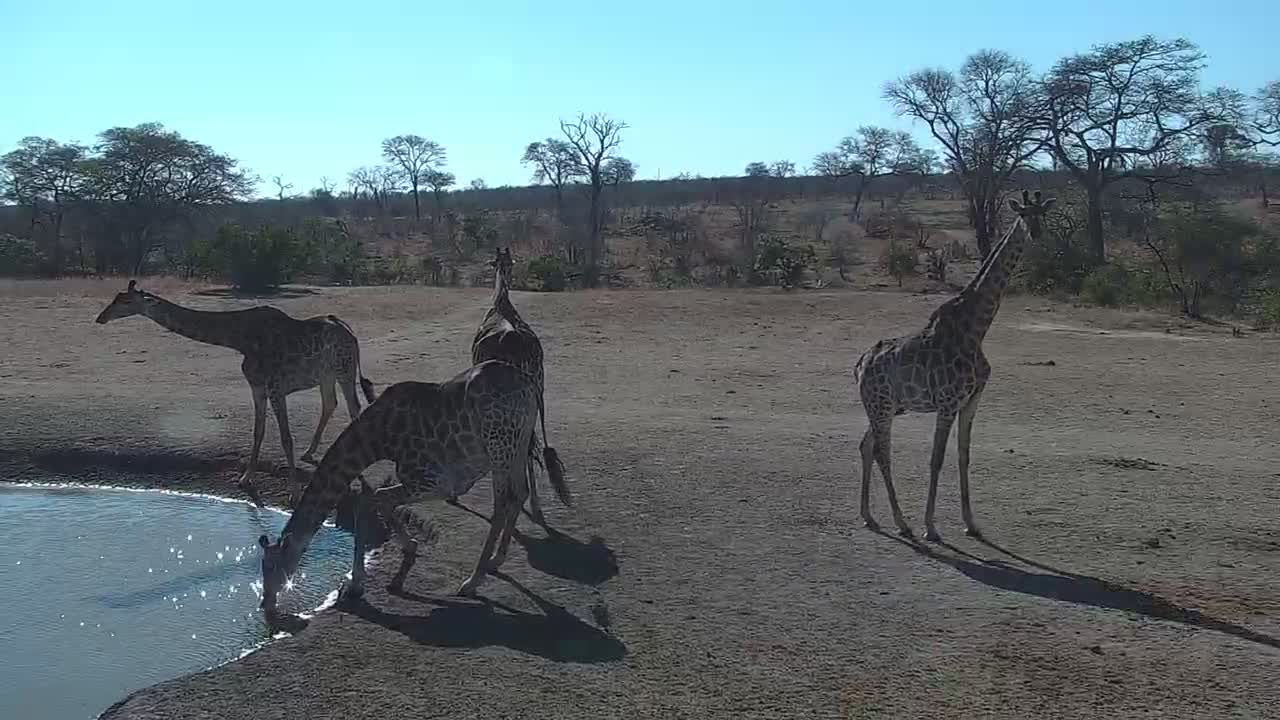 VIDEO: A tower of Giraffe's at the water