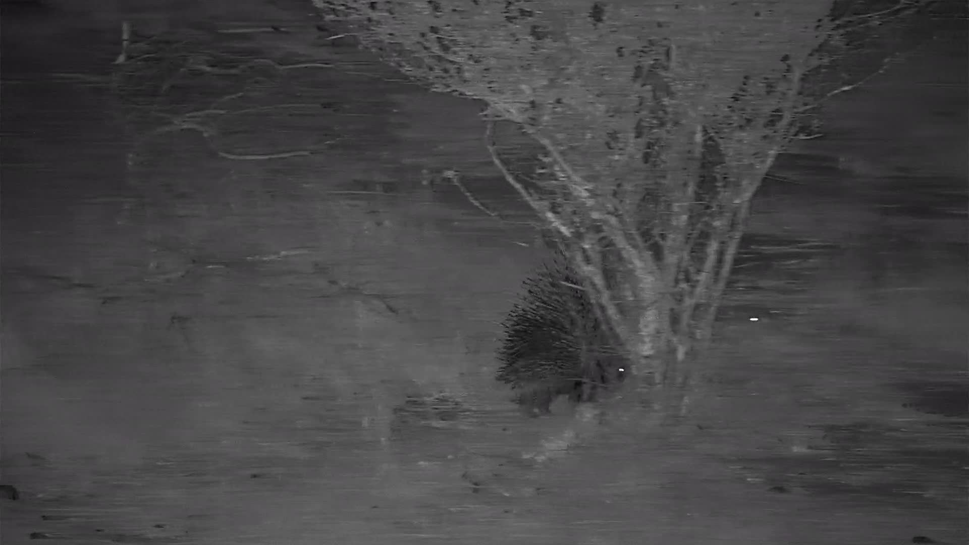 "VIDEO:  Porcupine ""on a mission"""