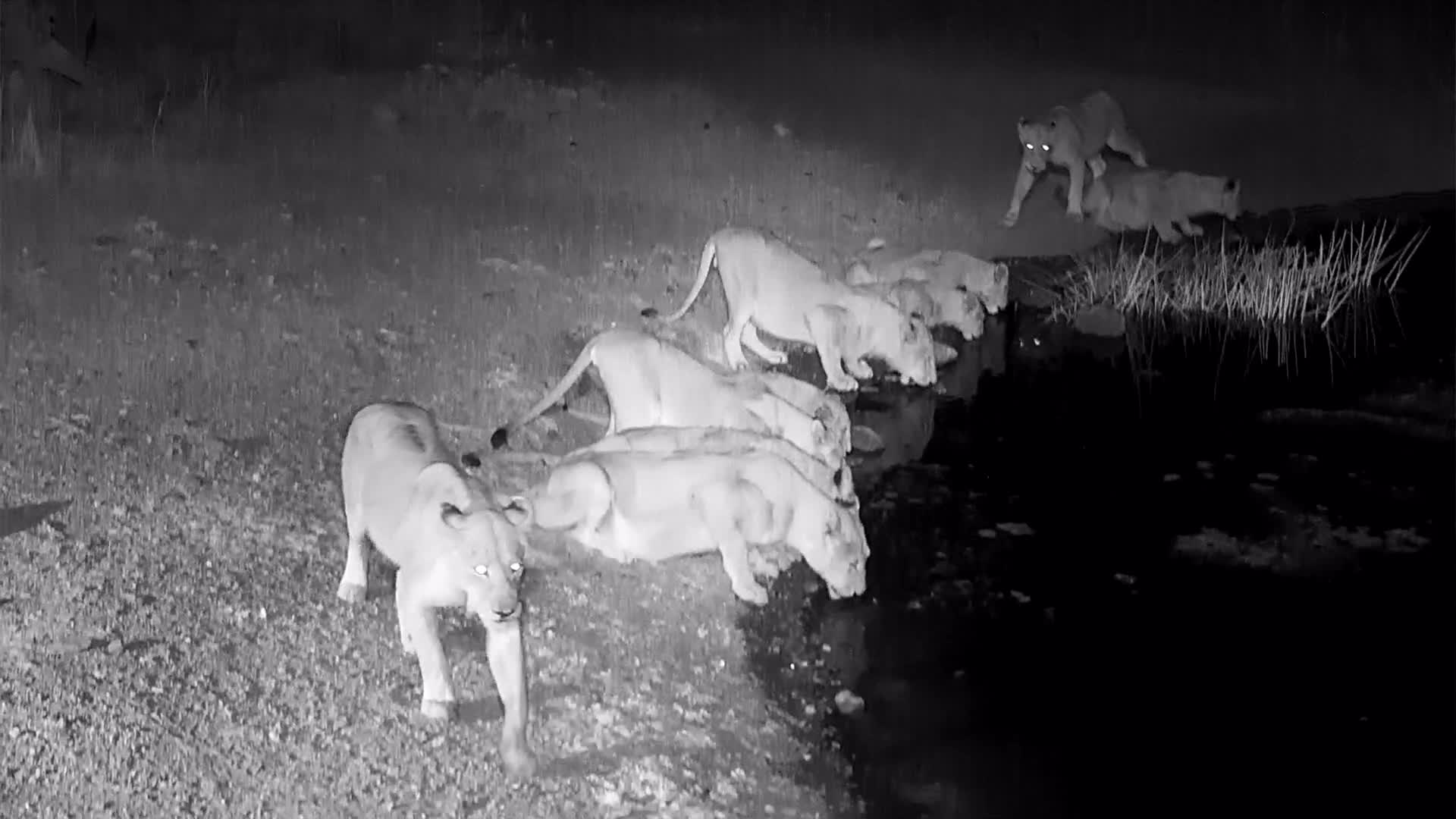 VIDEO:  Lions:  Lost of Lions
