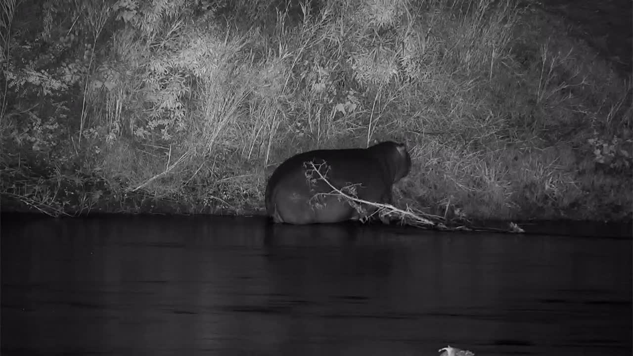 VIDEO: Hippo crosses the river wandering upstream and finds some grass on the other side of the river. Best view with fullscreen!