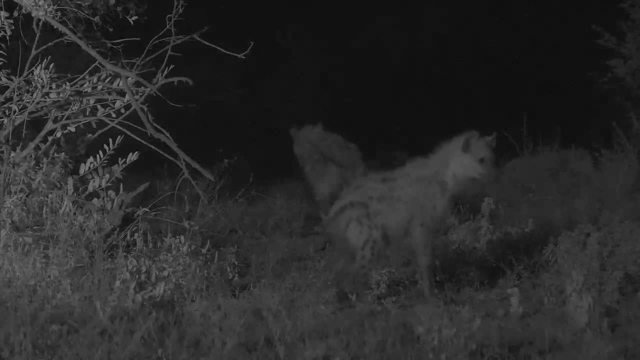 VIDEO: Quick visit by several hyenas checking out the area