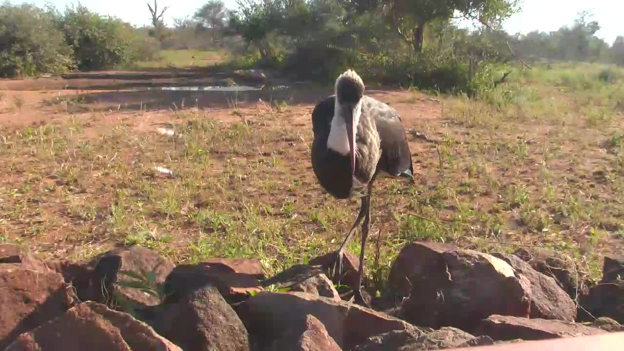 VIDEO:  Woolly-necked Stork hunting for insects near the camera