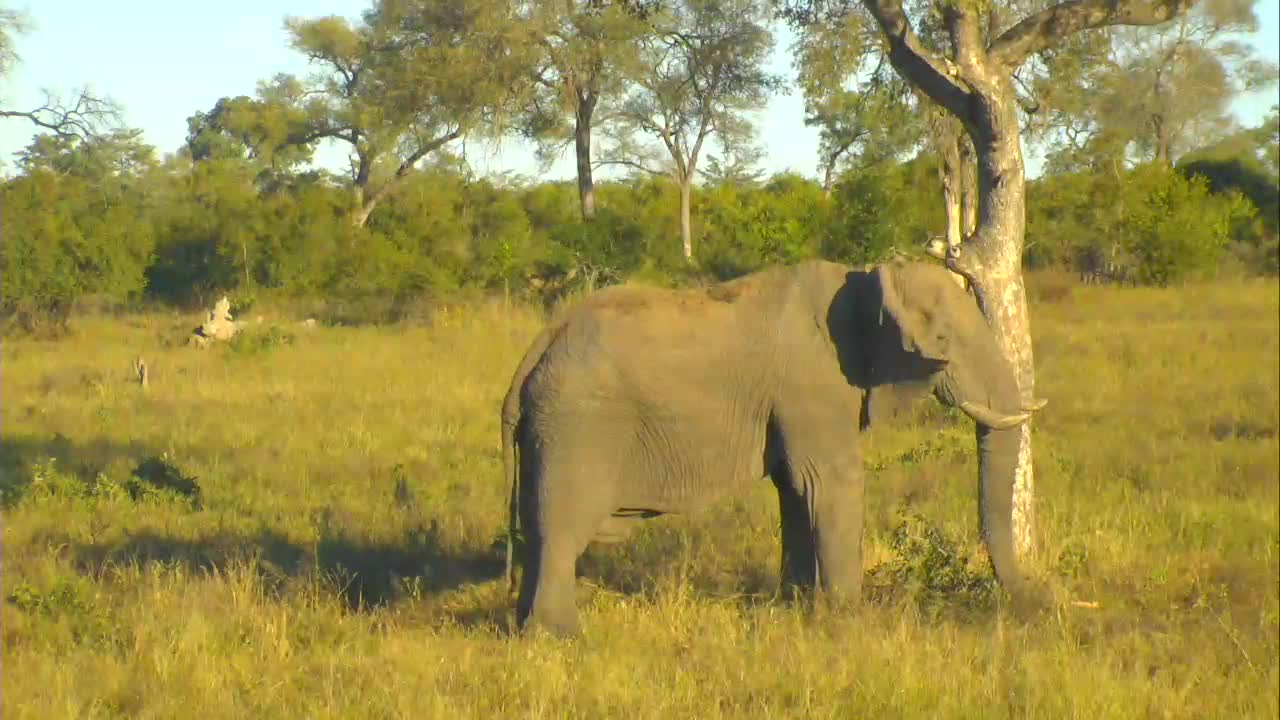 VIDEO: Elephant eating the leaves off the tree
