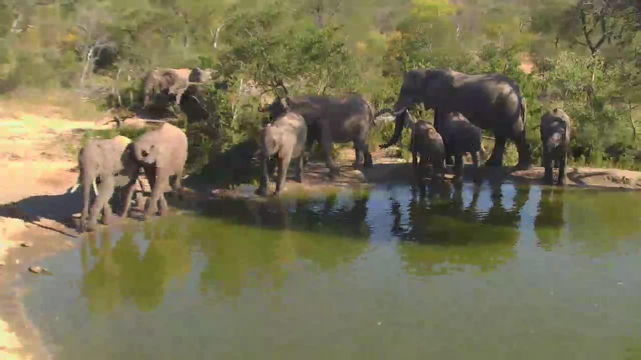 VIDEO: Elephant breeding herd with young ones came for a drink