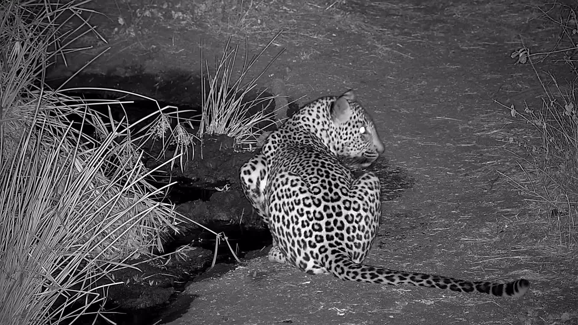 VIDEO:  Leopard drinking and you can hear it calling as it leaves.