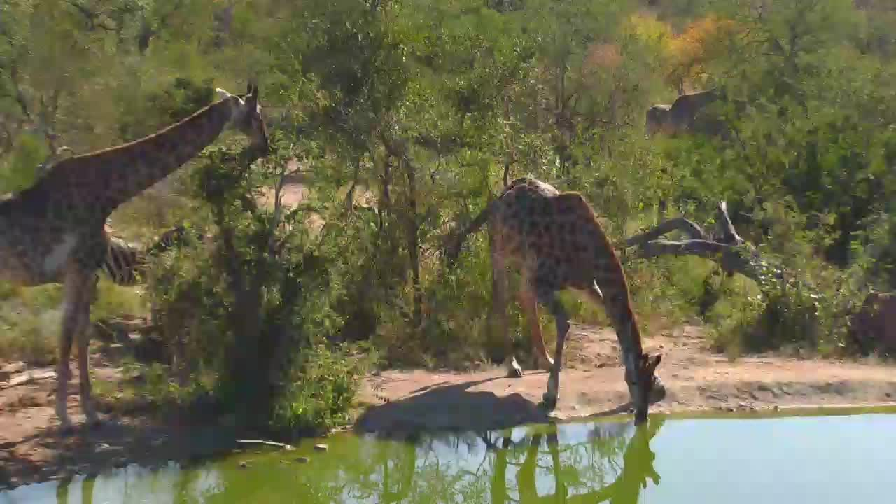 VIDEO: Giraffes and Zebra around in the area of the waterhole - eating leaves and drinking