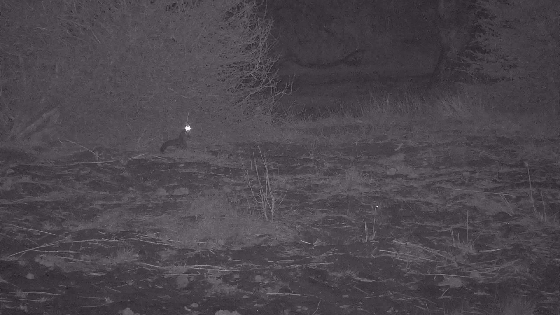 VIDEO:  Genet on the hunt