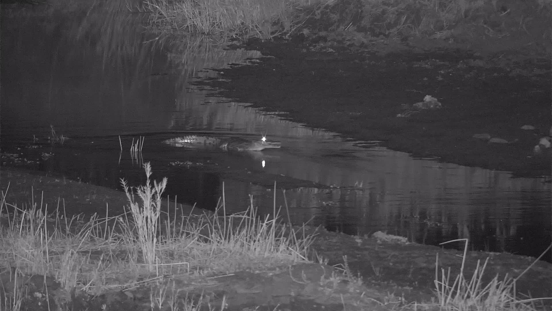 VIDEO:  Crocodile waiting for a midnight snack