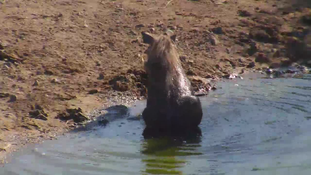 VIDEO: Warthog takes a short bath - wallowing in the water.